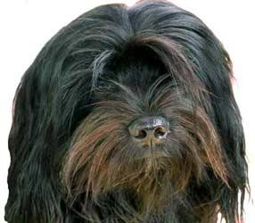 shikar+tibet+terrier, Tibetan+terrier, Tibetanterrier+breeder